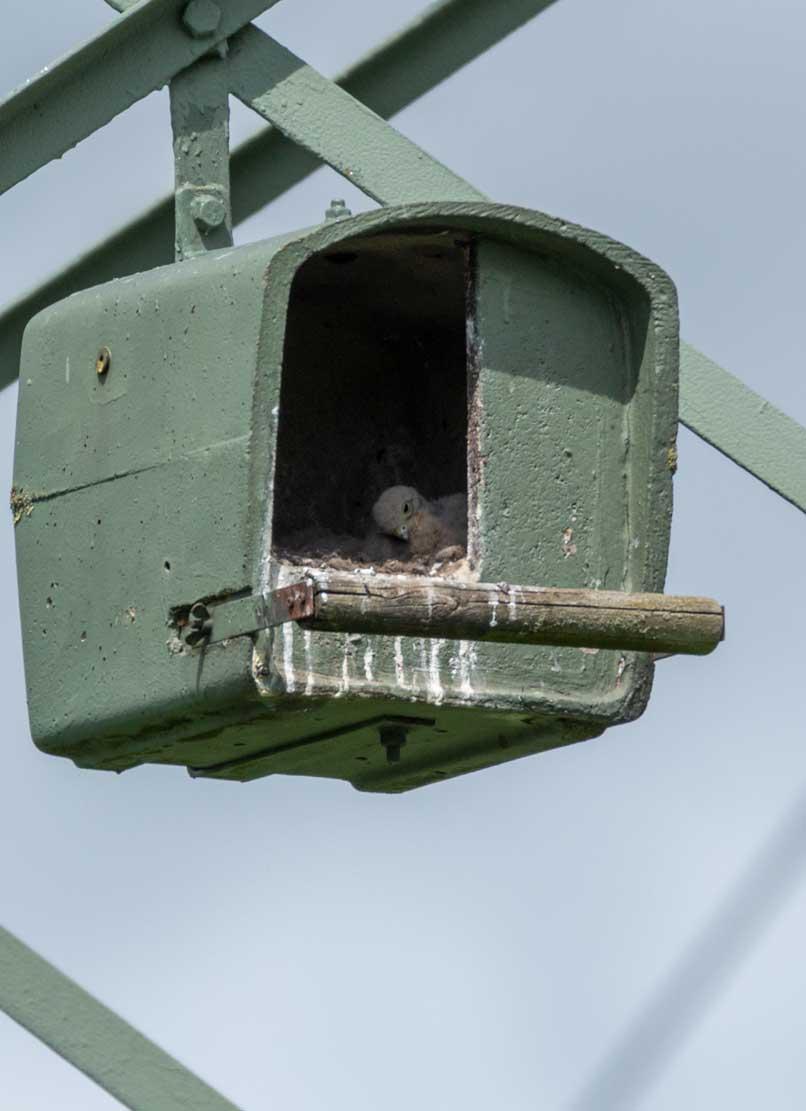 Küken der Turmfalken in den Nesthilfen über den Broderstorfer Wiesen (c) Frank Koebsch 2020 05 16 - (3)