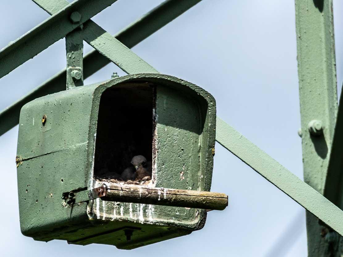 Küken der Turmfalken in den Nesthilfen über den Broderstorfer Wiesen (c) Frank Koebsch 2020 05 16 - (4)