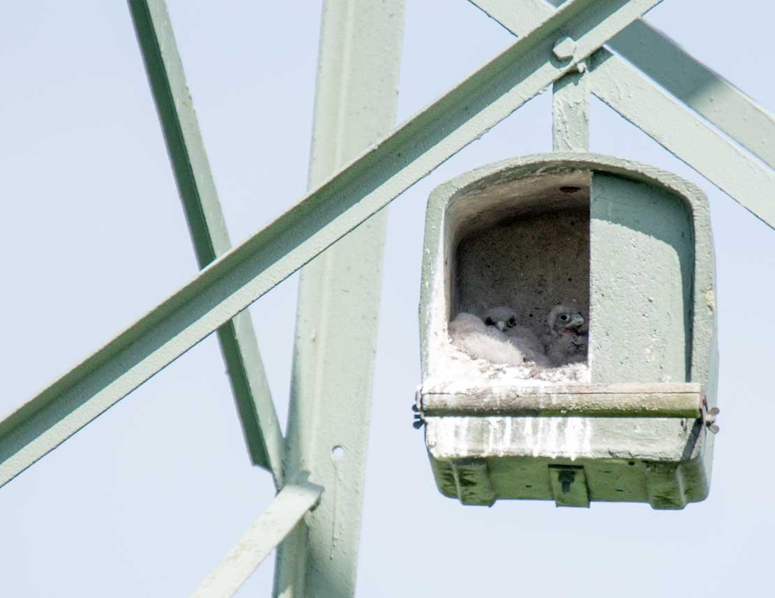 Küken der Turmfalken in den Nesthilfen über den Broderstorfer Wiesen (c) Frank Koebsch 2020 05 21 - (4)