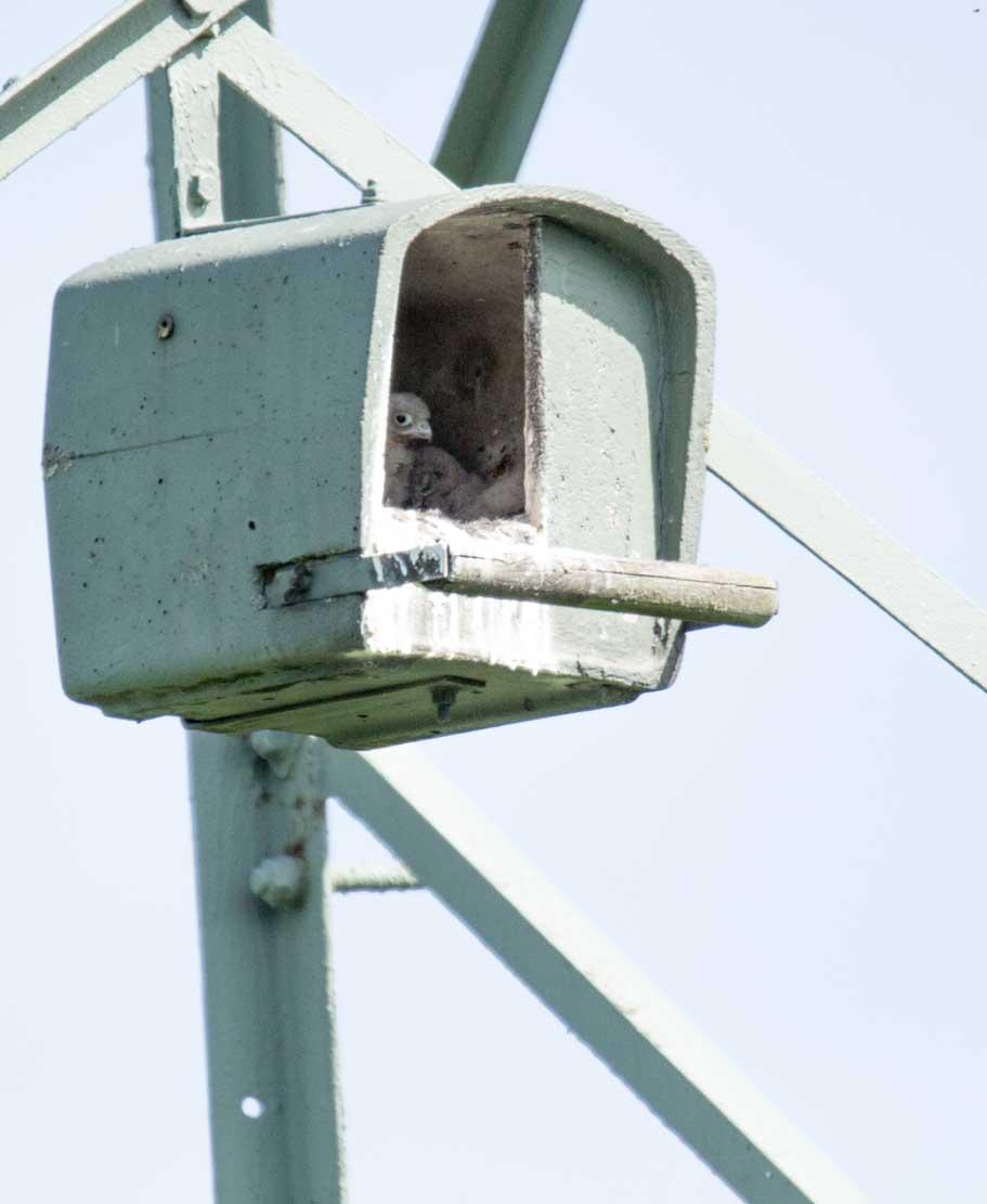 Küken der Turmfalken in den Nesthilfen über den Broderstorfer Wiesen (c) Frank Koebsch 2020 05 21 - (6)