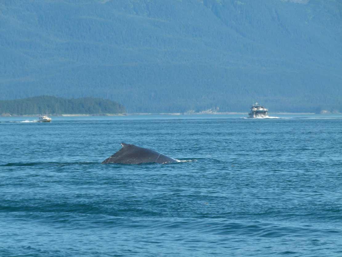 Rücken eines Buckelwales (c) Frank Koebsch (1)