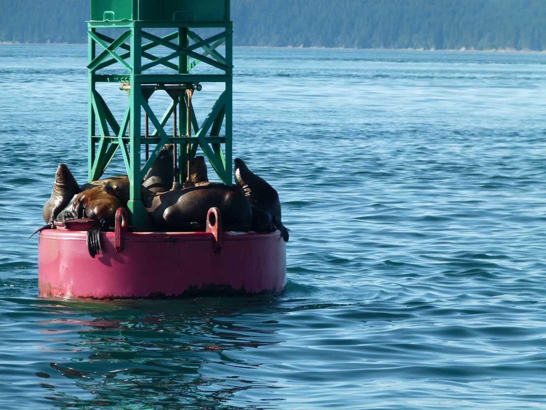 Seelöwen auf einer Boje in der Auke Bayy (c) Frank Koebsch (4)