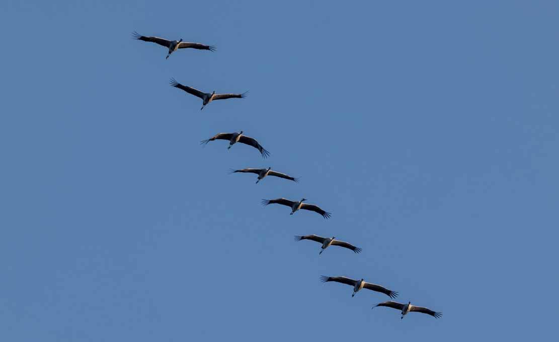 Kraniche am Himmel über den Boddenwiesen an der Barther Oie (c) FRank Koebsch (1)
