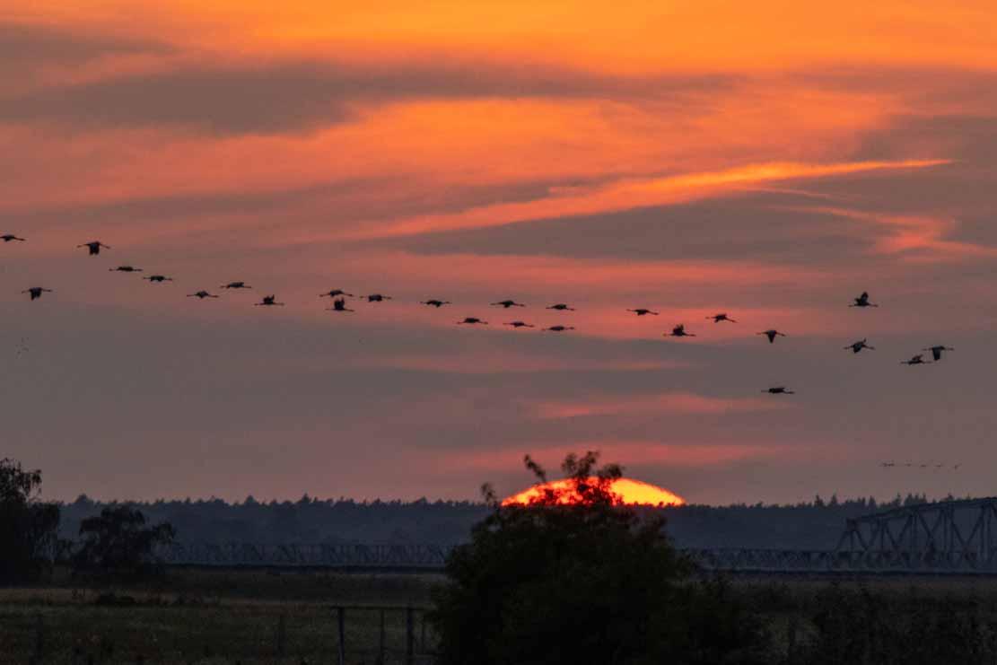 Kraniche im beim Sonnenuntergang auf die Insel Kirr (c) Frank Koebsch (3)
