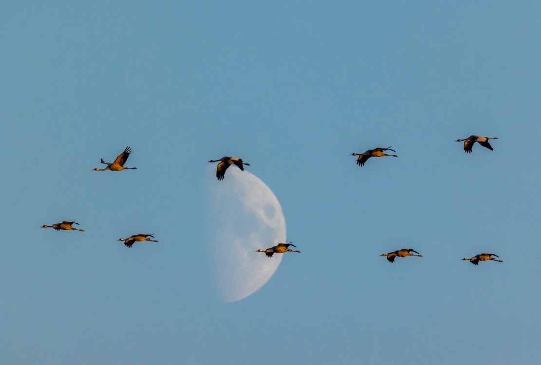 Kraniche im Mondschein (c) Frank Koebsch (4)