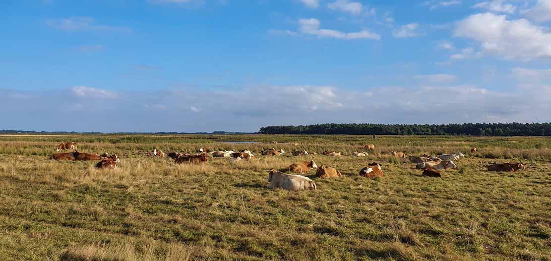 Kühe auf den Wiesen zwischen Bresewitz und der Beobachtungsplattform Barther Oie (c) Frank Koebsch (1)
