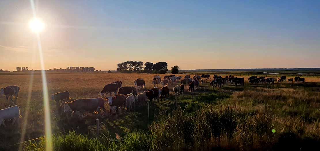 Kühe auf den Wiesen zwischen Bresewitz und der Beobachtungsplattform Barther Oie (c) Frank Koebsch (2)