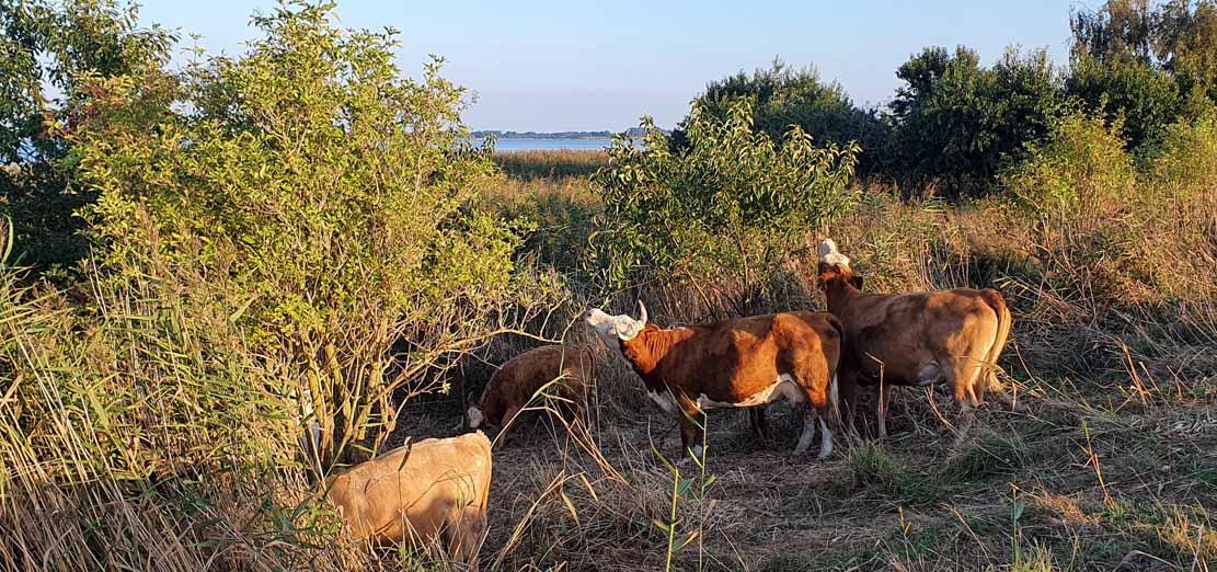 Kühe auf den Wiesen zwischen Bresewitz und der Beobachtungsplattform Barther Oie (c) Frank Koebsch (3)