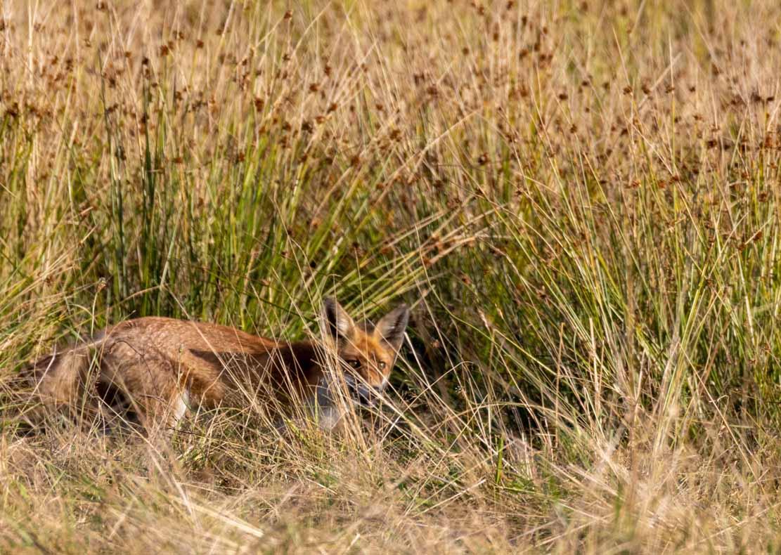 Rotfuchs auf der Pisch in den Boddenwiesen an der Barther Oie (c) Frank Koebsch (3)