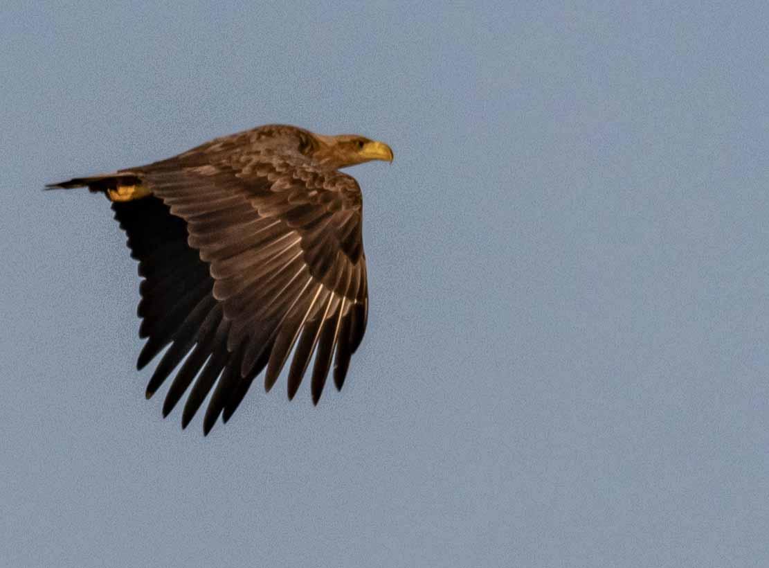 Seeadler im Flug über den Boddenwiesen an der Barther Oie (c) FRank Koebsch (12)