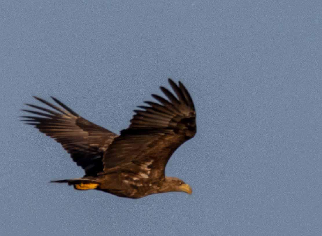 Seeadler im Flug über den Boddenwiesen an der Barther Oie (c) FRank Koebsch (13)